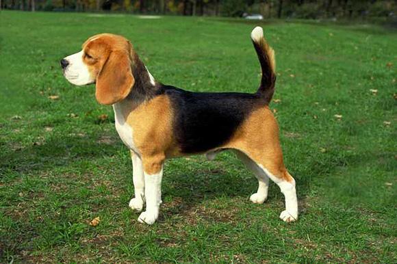 Beagle neutraalstand bron dogapediaorg