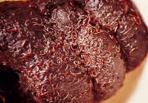 bloedworm-mestbal-wormbestrijdingnl