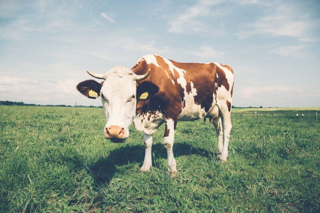 dierenkliniek benschop oudewater koe uier