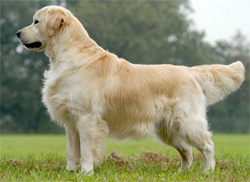 golden-retriever neutraalstand bron k9snl