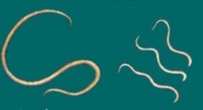 haakworm_-_huisdierendokter
