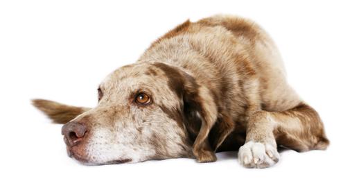 hond liggend bron wwwmedpetsnl