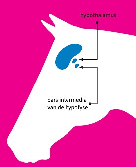 hypofyse - ppidbijpaarden