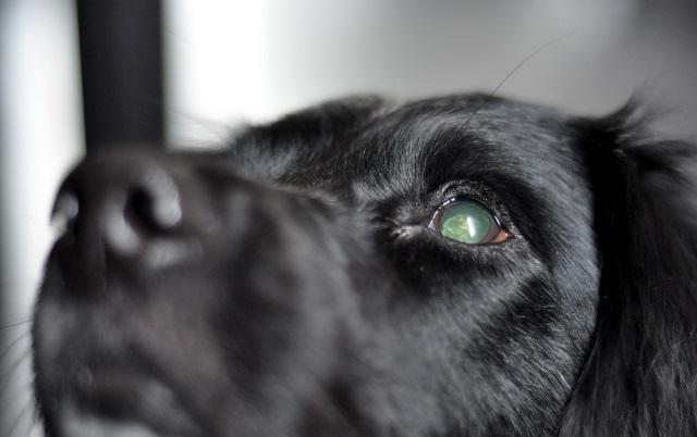 ouderdomsstaar hond